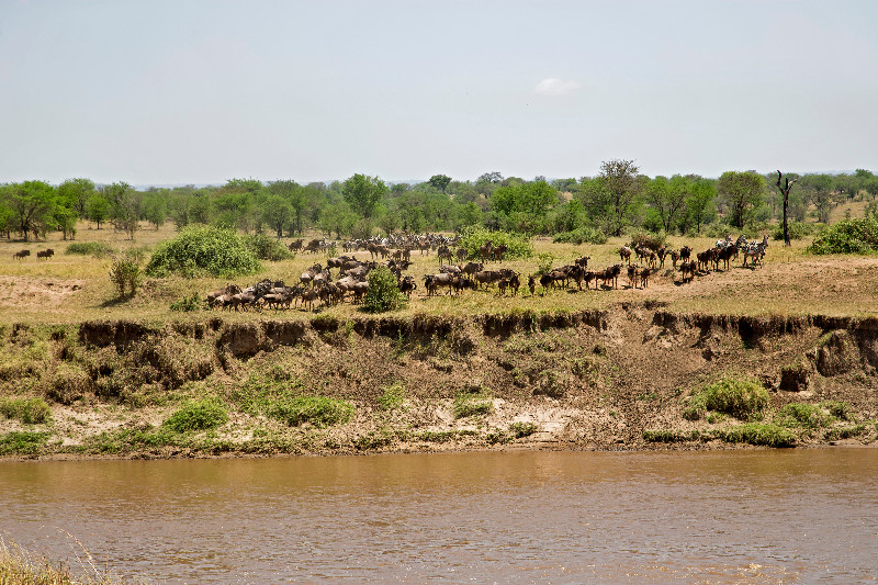 large_Wildebeest_51.jpg
