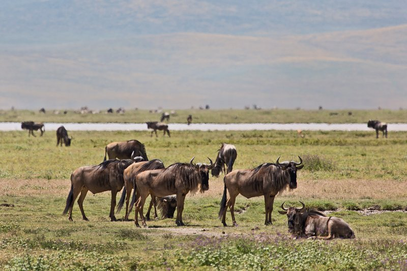 large_Wildebeest_6-1.jpg