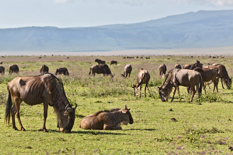 large_Wildebeest_6-51.jpg