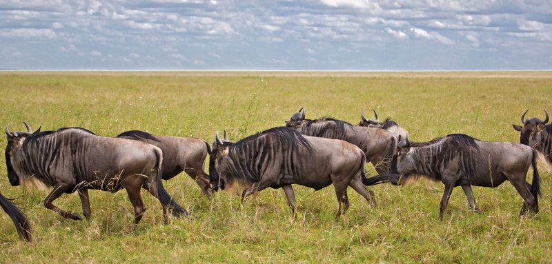 large_Wildebeest_9-1.jpg