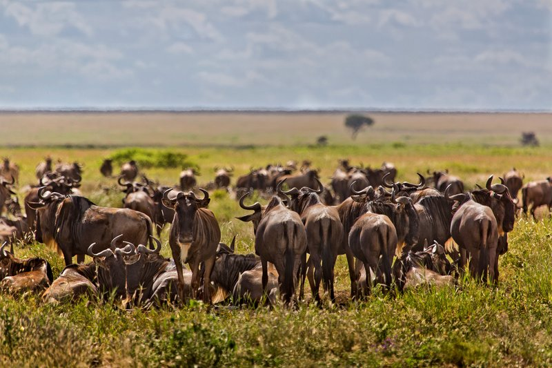 large_Wildebeest_9-11.jpg