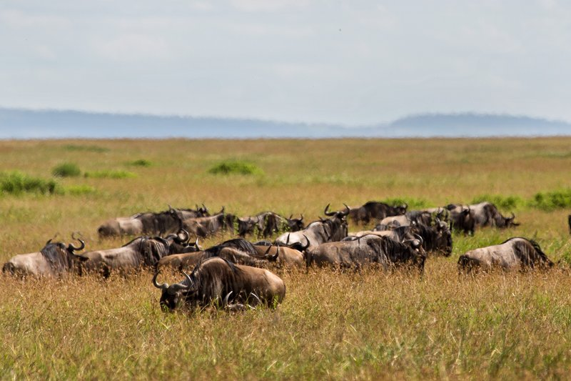 large_Wildebeest_9-12.jpg