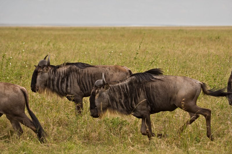 large_Wildebeest_9-2.jpg