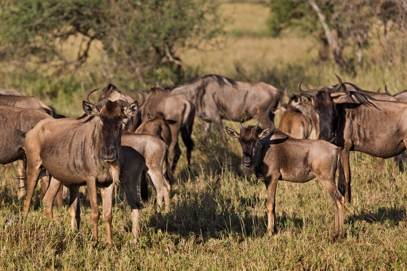 large_Wildebeest_9-302.jpg