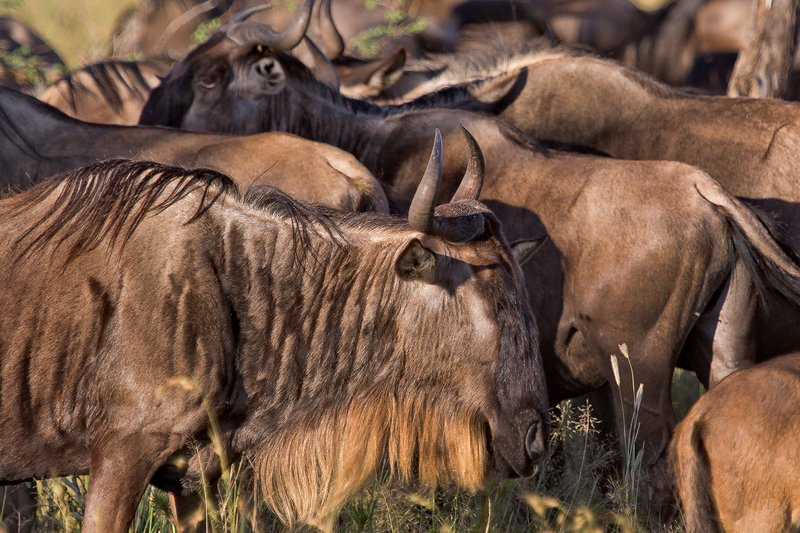 large_Wildebeest_9-305.jpg