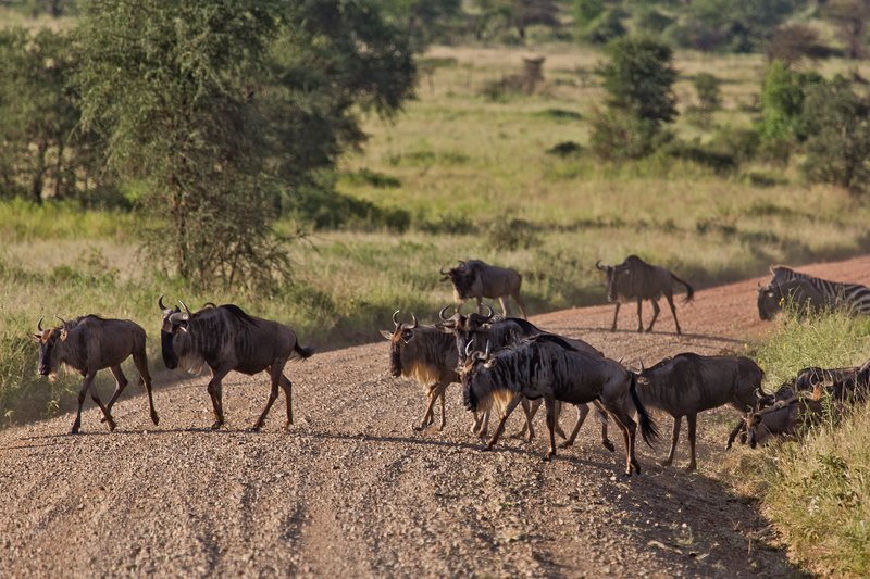 large_Wildebeest_9-308.jpg