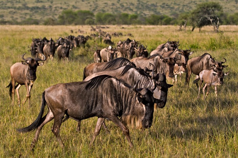 large_Wildebeest_9-311.jpg