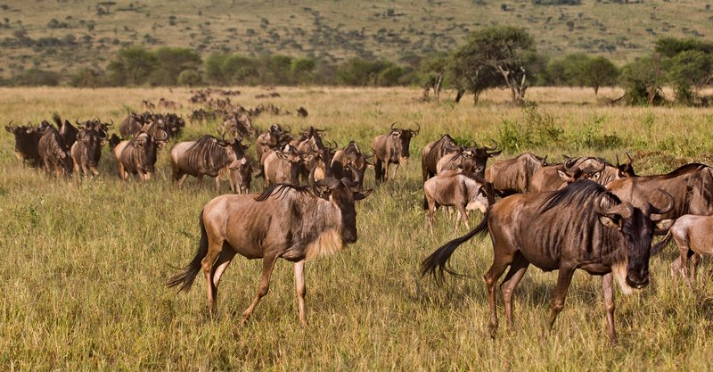 large_Wildebeest_9-312.jpg