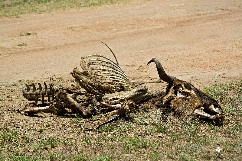 large_Wildebeest_Carcass_1.jpg