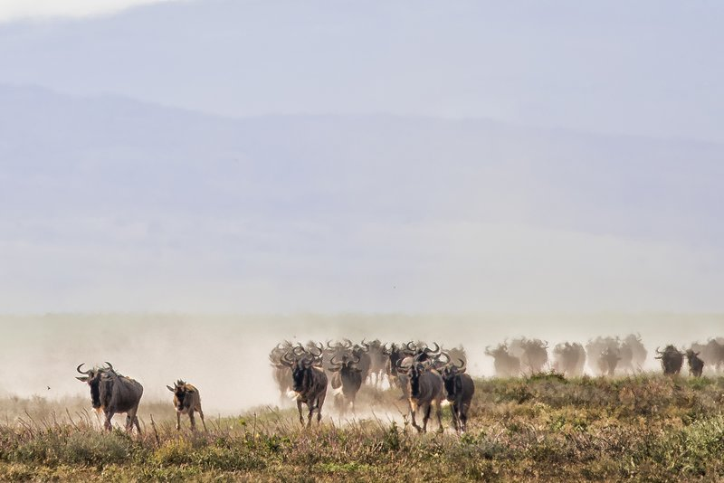 large_Wildebeest_Migration_5.jpg
