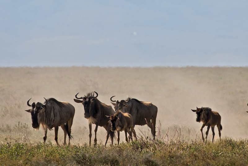 large_Wildebeest_Migration_7.jpg
