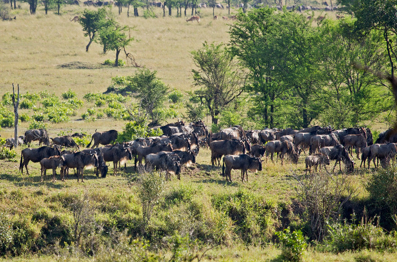 large_Wildebeest_Moving_East_2.jpg