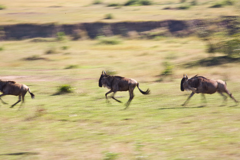 large_Wildebeest_Running_1.jpg