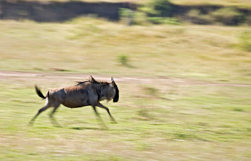 large_Wildebeest_Running_2.jpg