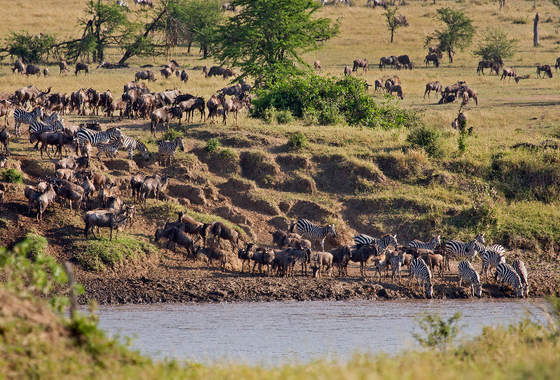 large_Wildebeest_and_Zebra_1.jpg