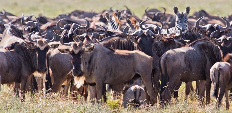 large_Wildebeest_and_Zebra_12-1.jpg