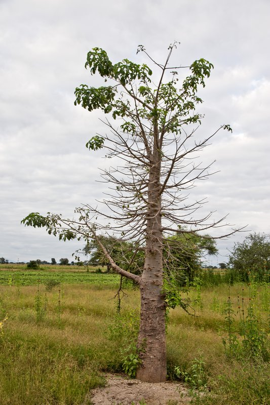 large_Young_Baobab_Tree_5-1.jpg