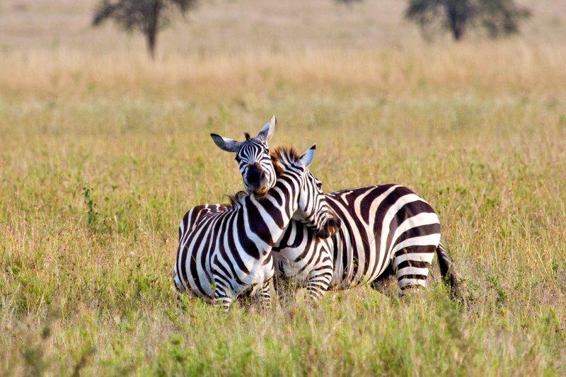 large_Zebra_11-12.jpg