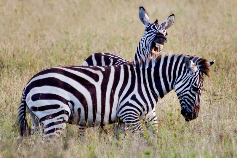 large_Zebra_11-14.jpg