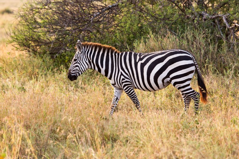 large_Zebra_11-17.jpg