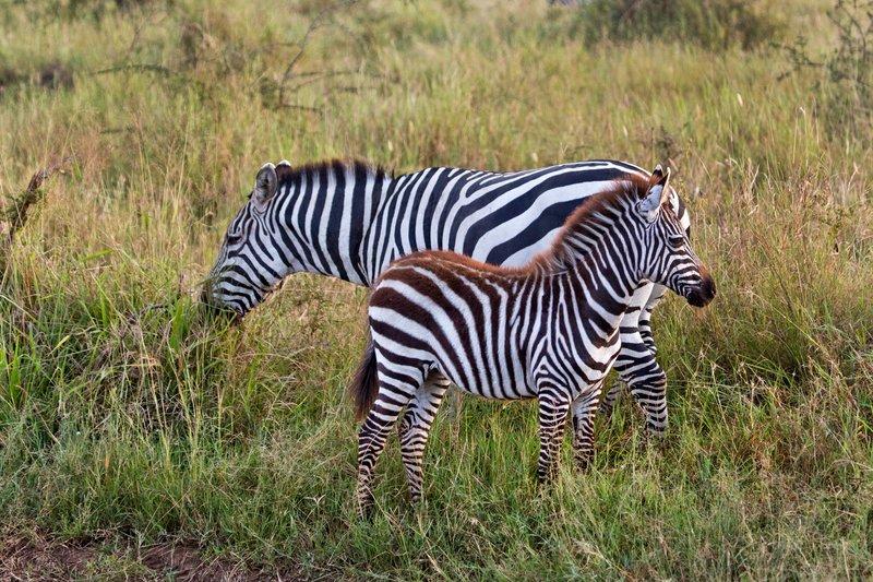 large_Zebra_11-3.jpg