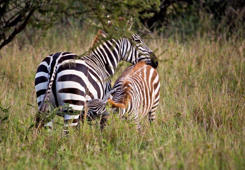 large_Zebra_11-6.jpg