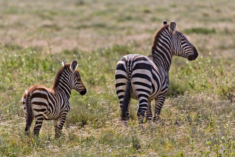 large_Zebra_12-1.jpg
