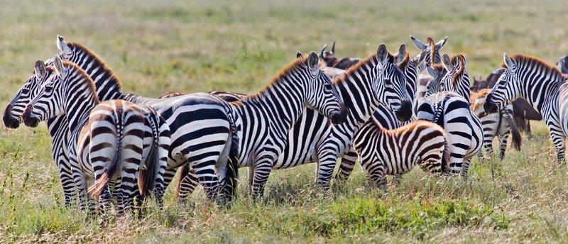 large_Zebra_12-2.jpg
