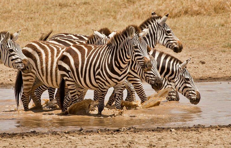 large_Zebra_428.jpg