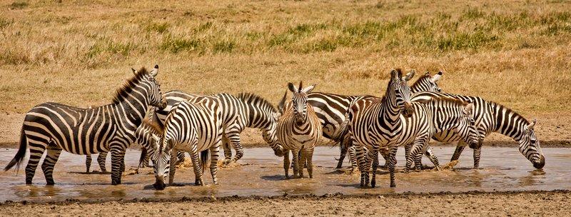 large_Zebra_430.jpg