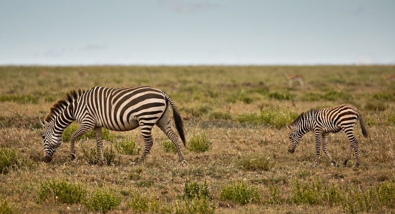 large_Zebra_439.jpg