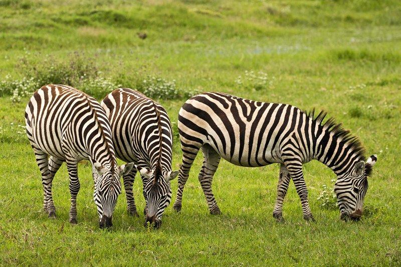 large_Zebra_45.jpg