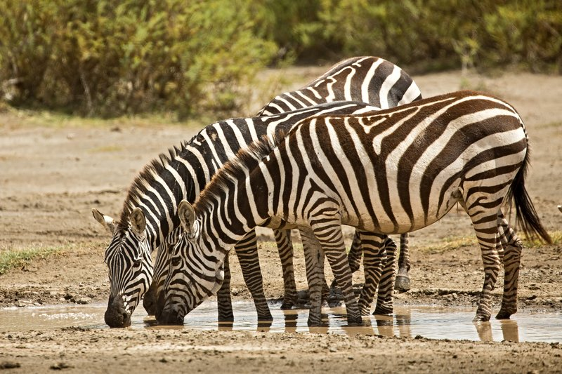 large_Zebra_46.jpg