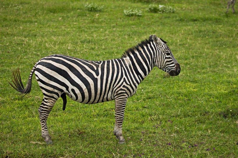 large_Zebra_47.jpg