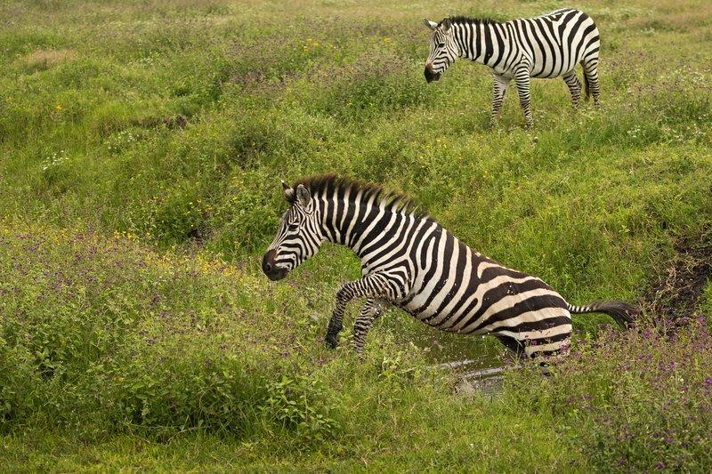 large_Zebra_48.jpg