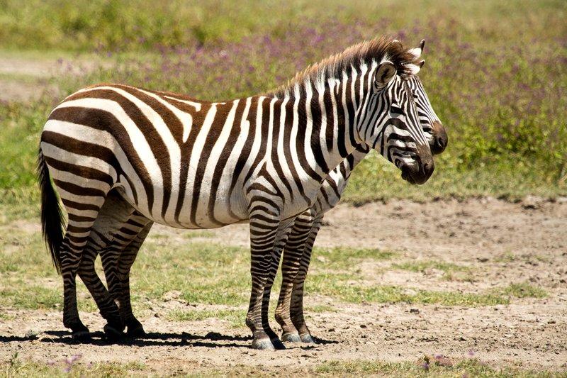 large_Zebra_6-12.jpg