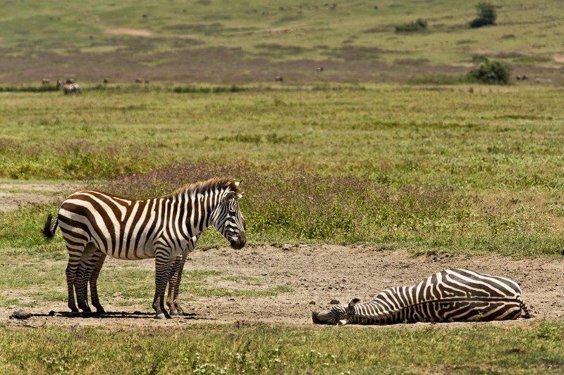 large_Zebra_6-13.jpg