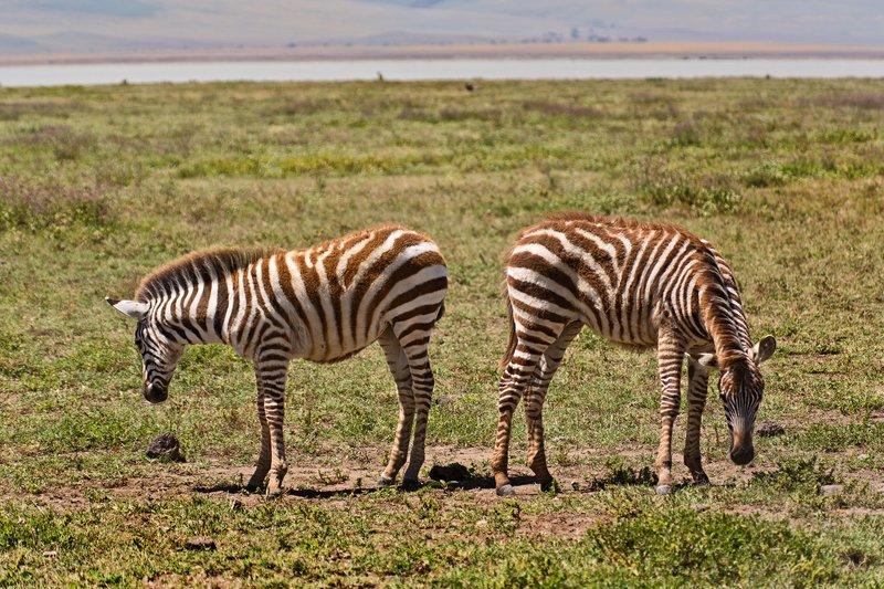 large_Zebra_6-14.jpg