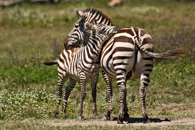 large_Zebra_6-17.jpg