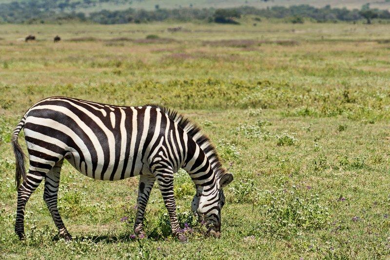 large_Zebra_6-5.jpg