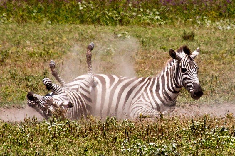 large_Zebra_6-9.jpg