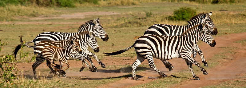 large_Zebra_62.jpg