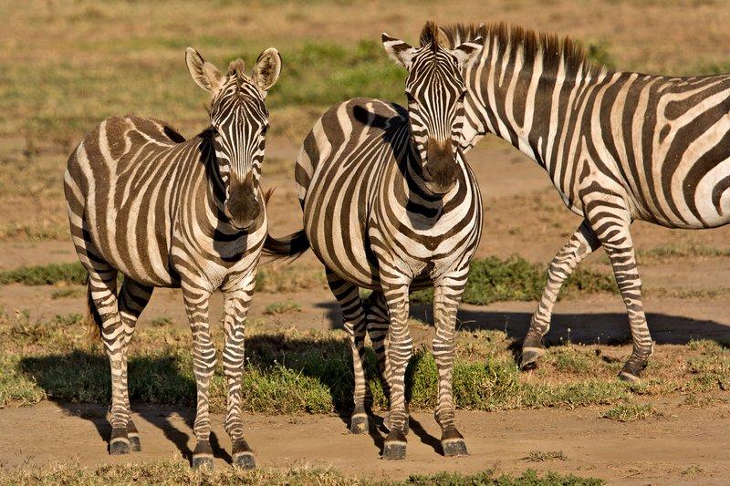 large_Zebra_7-12.jpg