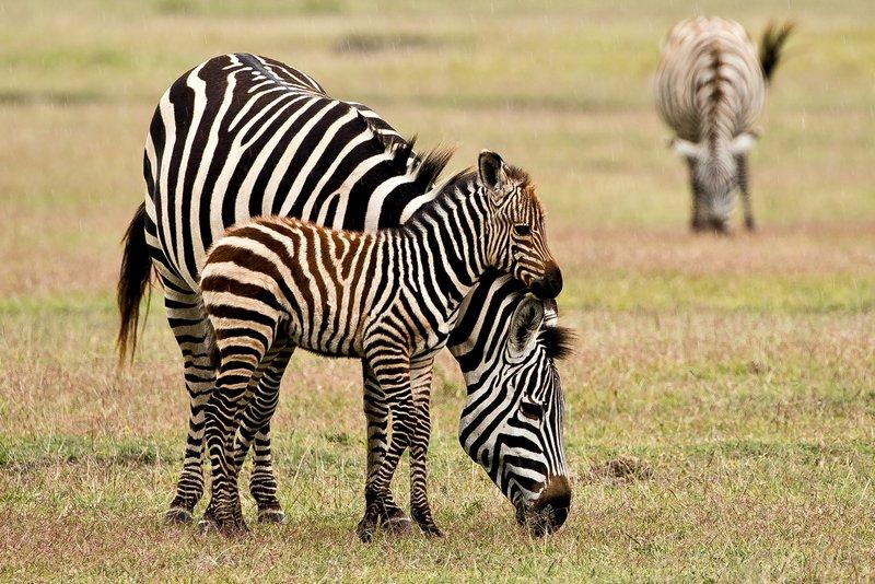 large_Zebra_83.jpg