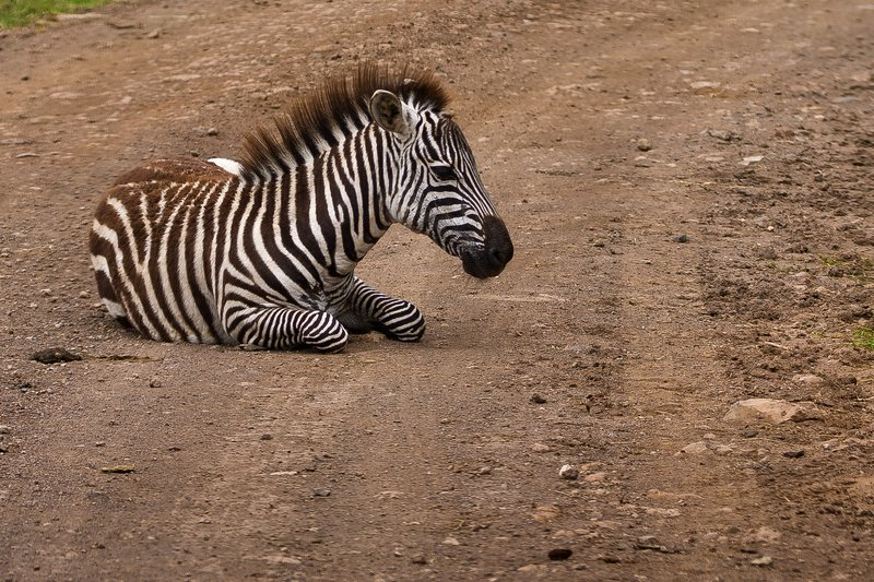 large_Zebra_85.jpg