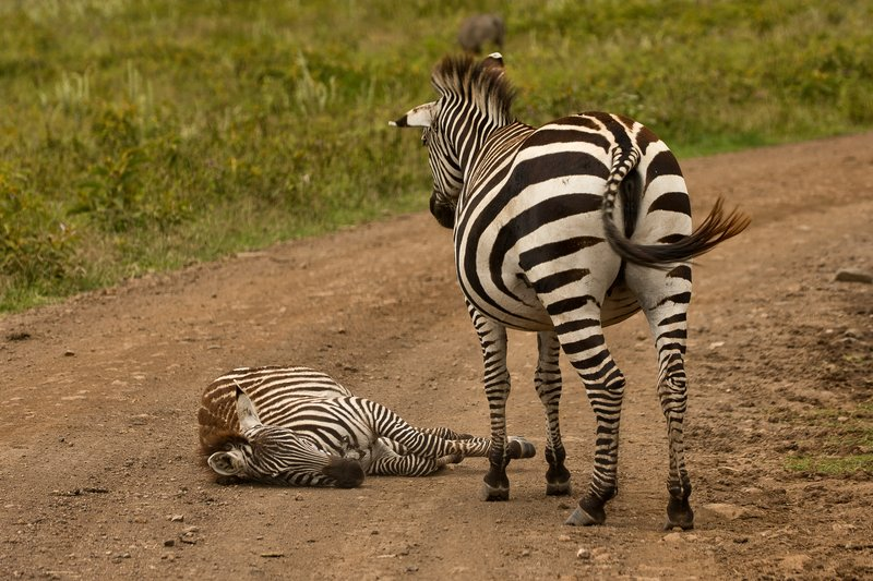 large_Zebra_87.jpg