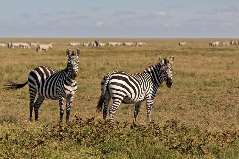large_Zebra_9-1.jpg