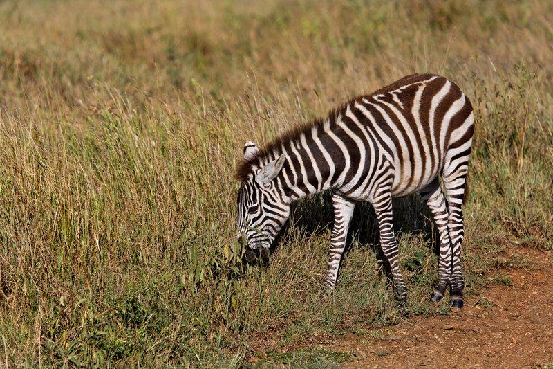 large_Zebra_9-41.jpg