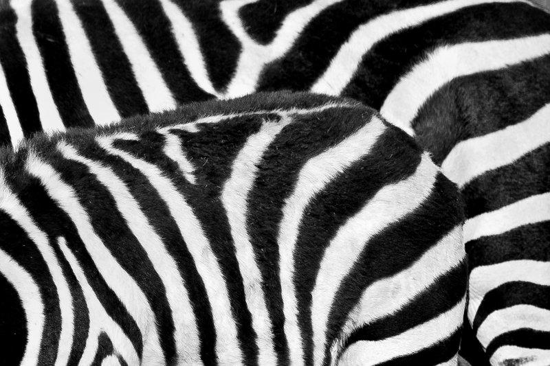 large_Zebra_9-45.jpg