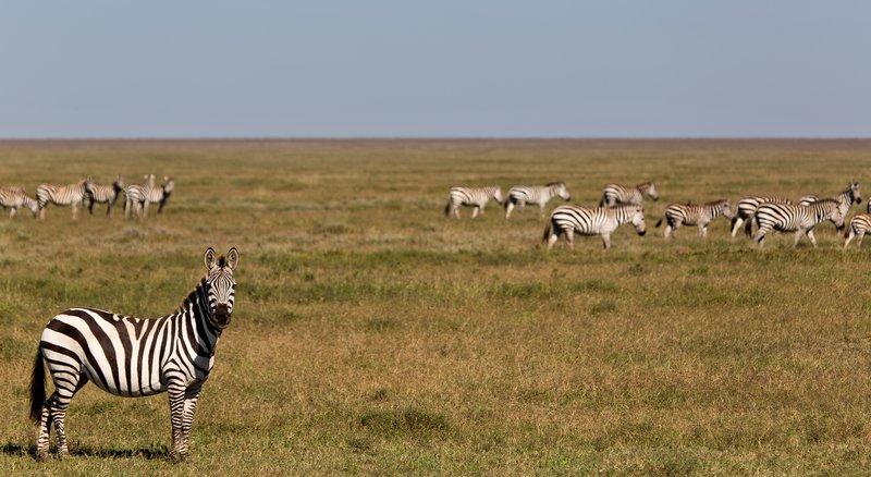 large_Zebra_9-5.jpg